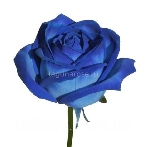 Купить необычные розы доставка цветов по санк-петербургу